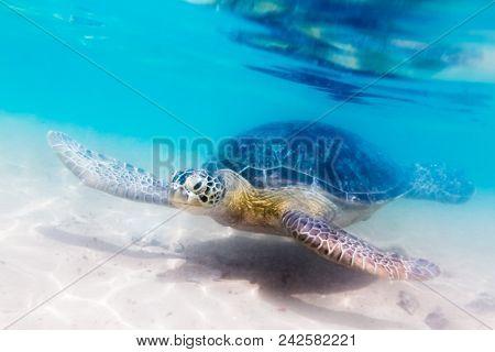 Turtle at Hikkaduwa beach. Sri Lanka