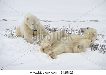 Polar Bears Playfool