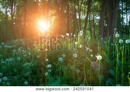Forest Summer Landscape - Forest Trees And White Fluffy Summer Dandelions On The Foreground Under So