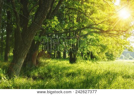 Green Summer Nature On Sunny Day. Summer Background. Trees On Green Meadow. Warm Sunlight Through Th