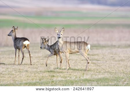 Beautiful Young Deer (cervidae). Close-up Of Wild Animal With Fresh Colors.