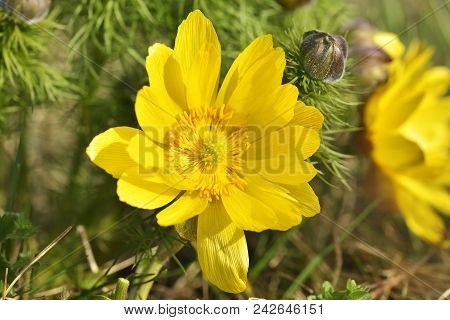 Detail Of A Spring Pheasant's Eye (adonis Vernalis) Flower
