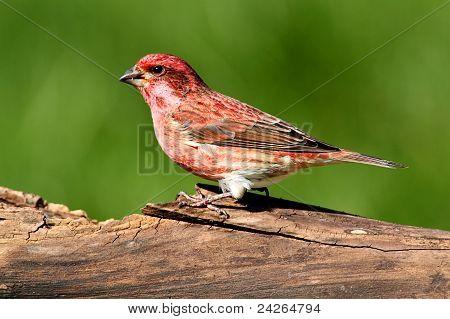 Purple Finch (carpodacus Purpureus)