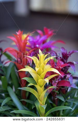 Mix Of Colorful Bright Guzmania, Fine Representative Of Bromeliad Or Pineapple Family. Guzmania, Sym