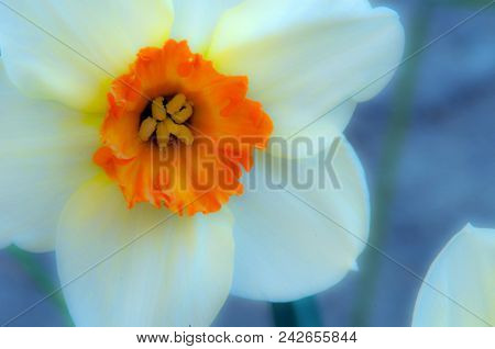 A Touch Of Sunshine: Macro Of White & Orange Narcissus Flower, France