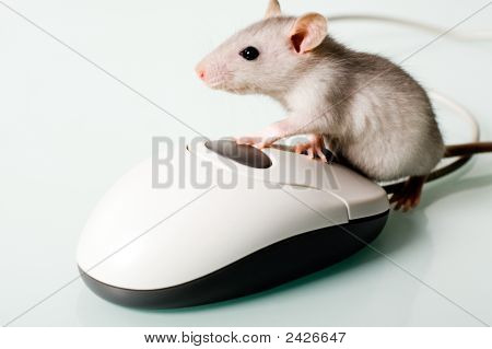 Image of small pet touching to the computer mouse poster