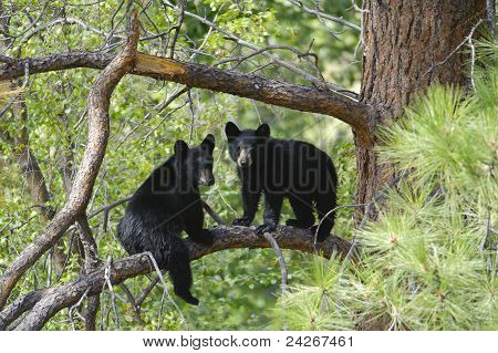 Two Bear Cubs Sitting On A Tree Branch