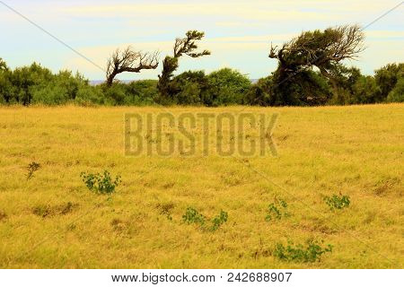 Windswept Landscape Including Trees Shaped From The Wind Surrounding Grasslands Taken In The Big Isl