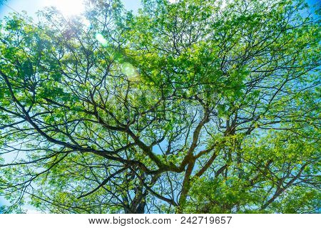 Natural background, amazing giant tree with fresh green leaves, beauty and freshness of summer nature, beautiful nature of Sri Lanka, strength and stability concept