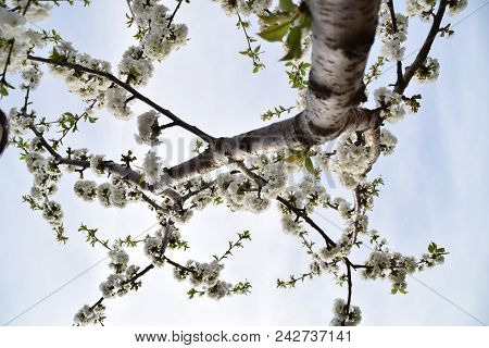 A Cherry Blossom Tree From A Down Perspective
