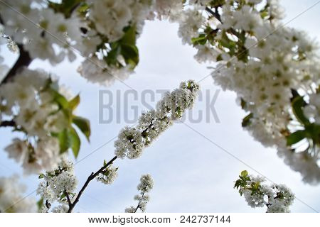A Floral Window To A Cherry Blossom