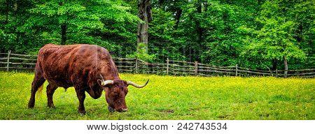 Grazing Bull (banner)