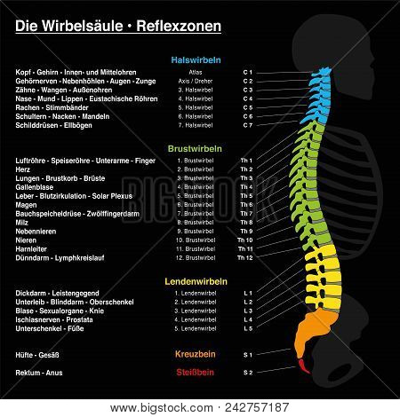 Spine reflexology with description of the corresponding internal organs and body parts, and with names and numbers of the vertebras of the backbone. GERMAN LANGUAGE. poster
