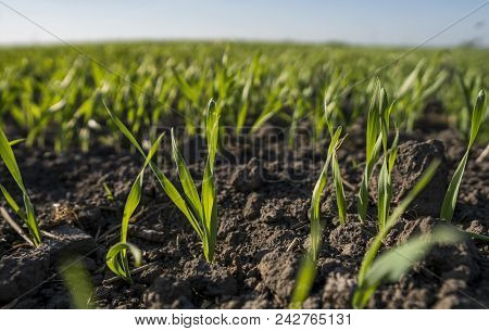 Young Wheat Seedlings Growing In A Field. Young Green Wheat Growing In Soil. Close Up On Sprouting R