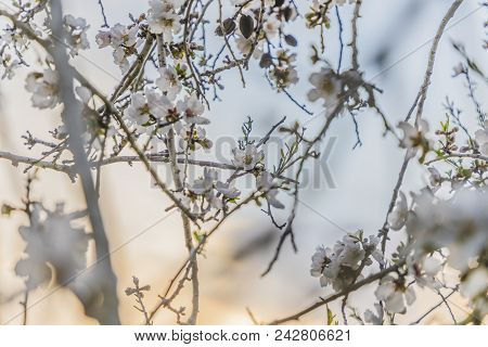 Focus On Flower Cluster Of Pale Almond Tree Bloom On A Tree Branch With Half Orange Sunset Sky And H