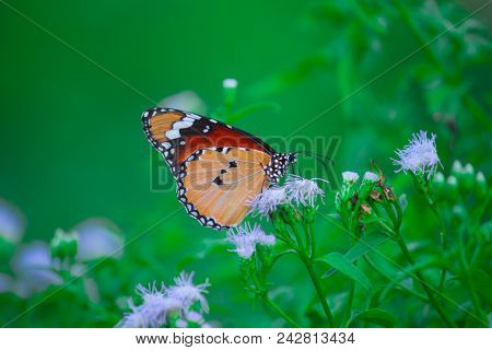 The Monarch Butterfly Or Simply Monarch Is A Milkweed Butterfly In The Family Nymphalidae. Other Com