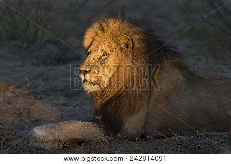 Adult Lion Male With Huge Mane Resting And Waiting In The Gathering Darkness