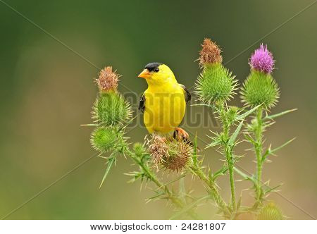 American goldfinch perched on bull thistle plant