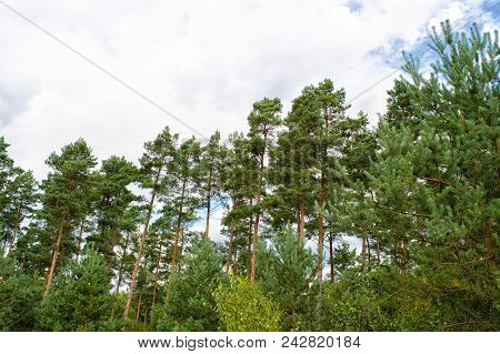 Pine Trees On Cloudy Sky Background. Forest Or Wood On Idyllic Summer Landscape. Nature With Good Ec