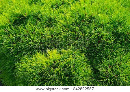 Pine Fir Tree Needles As Green Background. Christmas Tree Branches. Evergreen Forest Or Wood. Nature