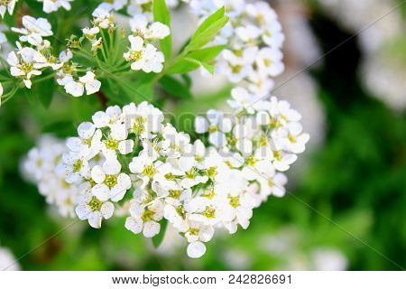 Spirea japonica. Meadowsweet. Summer white flowers bloom. Branch white flowers. White buds. White flowers blurred background. White flowers bloom in summer