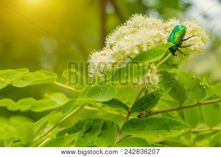 Green Beetle On Flowering White Rowan Flower