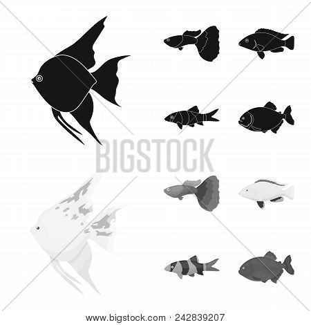 Botia, Clown, Piranha, Cichlid, Hummingbird, Guppy, Fish Set Collection Icons In Black, Monochrom St
