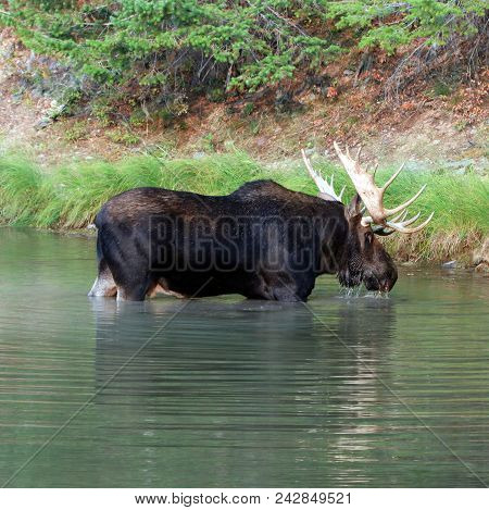 Shiras Bull Moose In Fishercap Lake In The Many Glacier Region Of Glacier National Park  In Montana