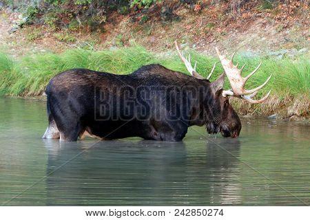 Shiras Bull Moose Near Shore Of Fishercap Lake In The Many Glacier Region Of Glacier National Park