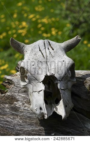 The Skull Of A Dead Animal, Old Age And Time, Close-up Of A Cow Head With Horns On The Background Of