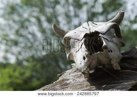 The Skull Of The Animal Lies On An Old Stump Around The Fragrant Young Green Foliage Of Trees, The C