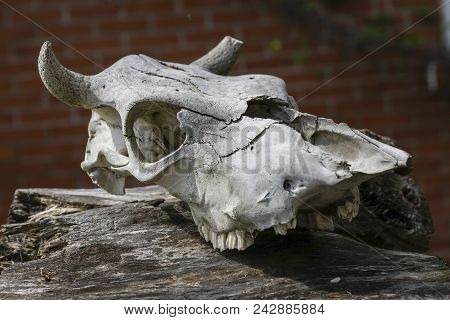 The Old Skull Of The Animal Has Fallen Apart From Time Lies On A Dilapidated Stump Against A Red Bri