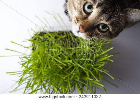 A pet cat eating fresh grass, on a white background. Cat sniffing and munching a vase of fresh catni