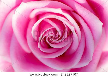Soft Dreamy Backgound Image Of A Beautiful Pink Rose In Close Up. Pretty Romantic And Feminine Flowe
