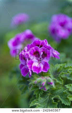 Purple Pink Flower Of Pelargonium Olga Shipston In Full Bloom Grown In A Botanic Garden
