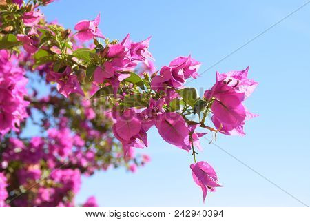 Pink Flowers Agains Blue Sky In A Summer Day