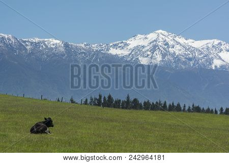 Cow Staring At Mountains On Grassland. New Zealand