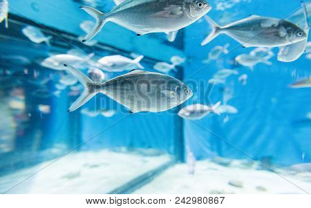 Fishes In Aquarium Environment. May Be Used As Background