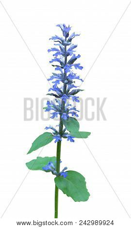 Blue Bugle, Bugleherb, Bugleweed (ajuga Reptans) Forest Plant Isolated On White Background With Clip
