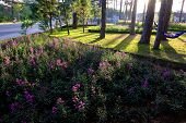 Scene of nature at Da Lat city in morning, violet daisy flower bloom, shade of pine tree on grass in park, golden light make beautiful landscape of flower city, place for ecotourism at Vietnam poster