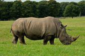 A white rhino grazing in a safari park poster