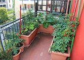 Many red ripe tomatoes Cherry type grown in pots on the terrace in the house of a condominium poster