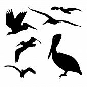A collection of isolated Pelican silhouette designs. poster