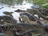 Lots of wild crocodiles on a shore of river poster