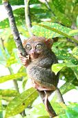 Philippine Tarsier monkey clinging on a tree poster