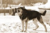 The photo of country dog on snow background. Sepia. poster