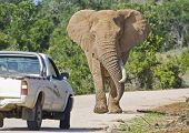 Elephant approaching a truck on a road in South Africa poster