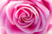 Soft dreamy backgound image of a beautiful pink rose in close up. Pretty romantic and feminine flower image. Abstract pattern close-up. poster