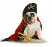 dog pirate - english bulldog dressed up like a pirate on white background poster