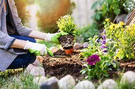 Gardener Planting Summer Flowers In Garden Bed